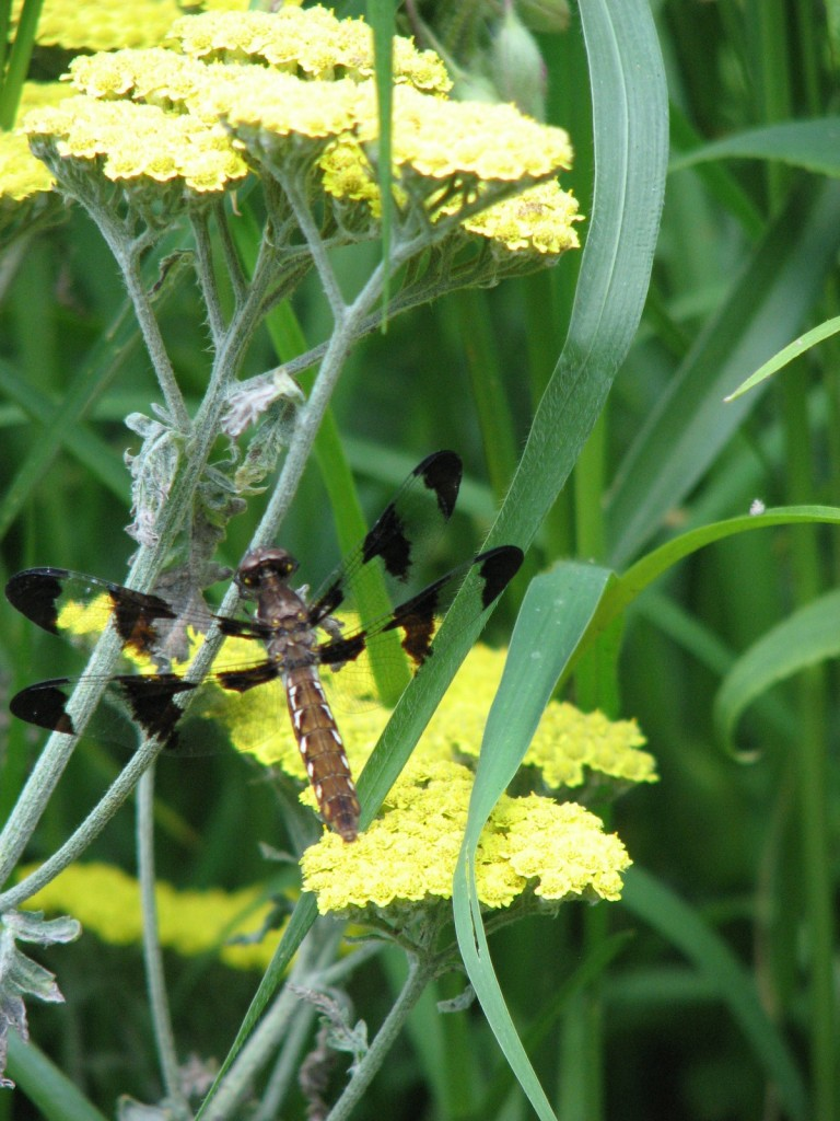 HF.dragonfly2